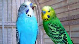 Singing Budgies – Paco Parrot's Blog